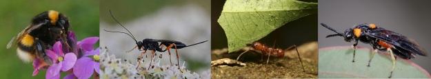 hymenoptera1