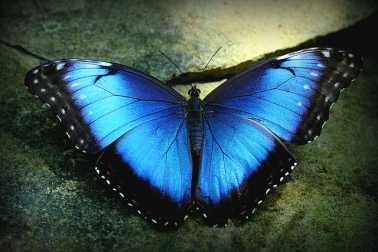 blue-morpho-butterfly-size-pic-1