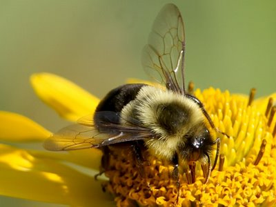Argentinean honey bee sexual term