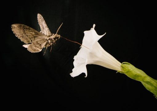 Pollinating-moth-feeds-from-Sacred-Dutura