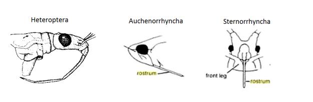 rostrums